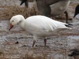 white phase Snow Goose: Bartow Co., GA