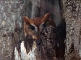 red phase Eastern Screech-Owl: Bartow Co., GA