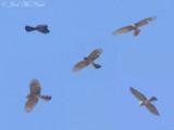 Sharp-shinned Hawk: Accipiter striatus, Bartow Co., GA (composite image)