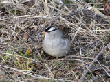 White-crowned Sparrow: Bartow Co., GA