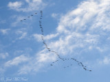 Sandhill Cranes flying in formation: Bartow Co., GA