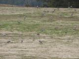 Sandhill Cranes: Bartow Co., GA