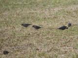 Rusty Blackbirds: Bartow Co., GA