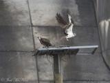 Osprey pair: Bartow Co., GA