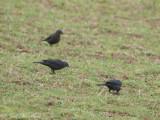 female Brewer's Blackbirds: Bartow Co., GA