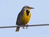 Eastern Meadowlark: Bartow Co., GA