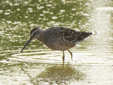 Long-billed Dowitcher: Bartow Co., GA
