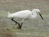 Snowy Egret: Bartow Co., GA