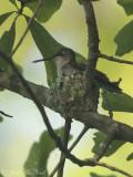 female Ruby-throated Hummingbird building nest: Bartow Co., GA