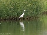 juv. Little Blue Heron: Bartow Co., GA