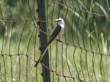 Scissor-tailed Flycatcher: Bartow Co., GA