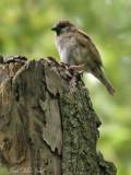 Family Passeridae: Eurasian Tree Sparrow (Passer montanus),  Madison Co., IL