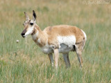 Pronghorn Antelope: Pawnee National Grassland, Weld Co., CO