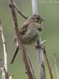Lincoln's Sparrow: Rocky Mountain NP, Larimer Co., CO