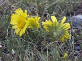 Alpine Sunflower: Rydbergia grandiflora, Rocky Mountain NP, Larimer Co., CO