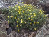 Alpine Avens: Geum rossii, Rocky Mountain NP, Larimer Co., CO