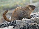 Yellow-bellied Marmot: Rocky Mountain NP, Larimer Co., CO