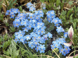 Alpine Forget-Me-Not: Eritrichum aretioides, Rocky Mountain NP, Larimer Co., CO