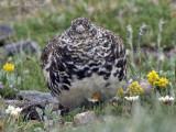 White-tailed Ptarmigan: Rocky Mountain NP, Larimer Co., CO