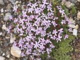 Moss Campion: Silene acaulis, Rocky Mountain NP, Larimer Co., CO