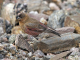 Brown-capped Rosy-finch: Rocky Mountain NP, Larimer Co., CO