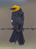 male Yellow-headed Blackbird: Jackson Co., CO
