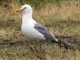 California Gull: Larus californicus, Arapaho NWR, Jackson Co., CO