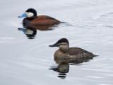 Ruddy Duck pair: Jackson Co., CO