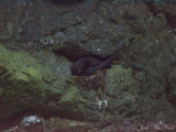 Black Swift (Cypseloides niger) on nest: Ouray Co., CO