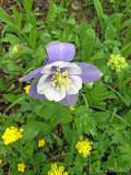Colorado Blue Columbine: Aquilegia coerulea, San Juan Co., CO