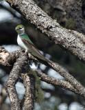 Violet-green Swallow: Tachycineta thalassina, Archuleta Co., CO