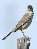 Sage Thrasher: Alamosa NWR, Alamosa Co., CO