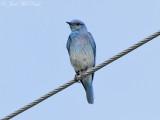 Mountain Bluebird: Alamosa NWR, Alamosa Co., CO