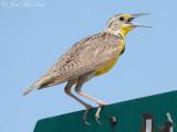 Western Meadowlark: Bent Co., CO