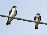juvenile Tree and Bank Swallows: Bartow Co., GA