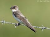 Bank Swallow: Bartow Co., GA