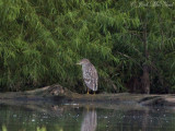 juv. Black-crowned Night-Heron: Bartow Co., GA