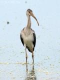 juv. White Ibis: Bartow Co., GA