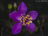 Menges' Fameflower: Phemeranthus mengesii