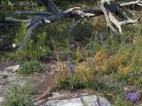 Cuscuta harperi on Liatris microcephala: Little River Canyon National Preserve, DeKalb