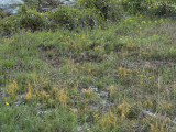 Sandstone Glade with Harper's Dodder (Cuscuta harperi): Little River Canyon National Preserve, DeKalb