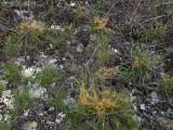 Harper's Dodder on young Liatris microcephala: Little River Canyon National Preserve, DeKalb Co., AL