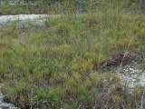 Liatris microcephala & Hypericum gentianoides; Marion Co., AL