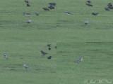 American Golden Plover: Bartow Co., GA