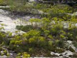 Nuttall's Rayless-Goldenrod: Bigelowia nuttallii- Moss Rock Preserve: Jefferson Co., AL