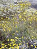 Confederate Daisy and Dwarf Blazing-Star: Helianthus porteri & Liatris microcephala, Heard Co., GA
