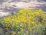Confederate Daisy: Helianthus porteri, Heard Co., GA