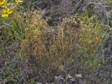 Cuscuta harperi on Hypericum gentianoides: Heard Co., GA