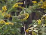 Prairie Warbler: Bartow Co., GA