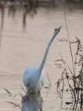Great Egret: Bartow Co., GA